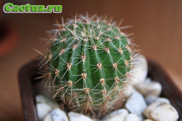 Строение кактусов