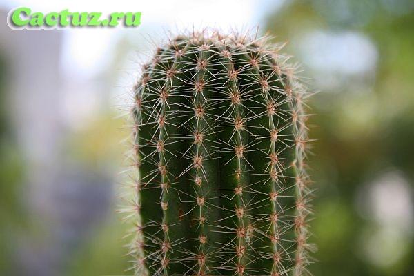 Особенности строения кактусов