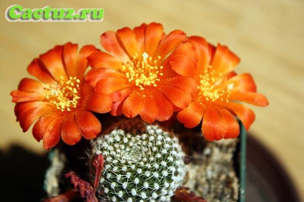 Между тем кактусы при хорошем и